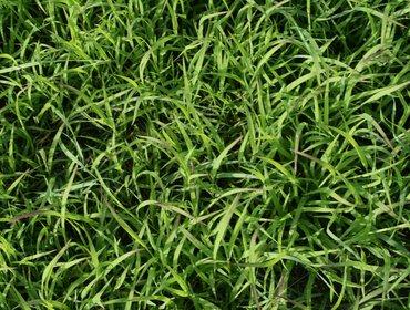 Erba prato grass lawn 01