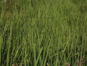 Erba prato grass lawn 04