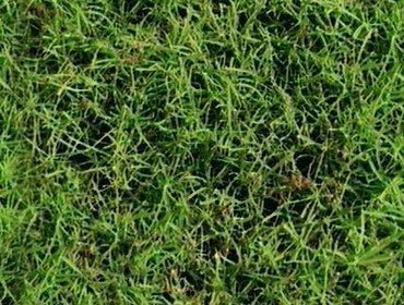Erba prato grass lawn 105