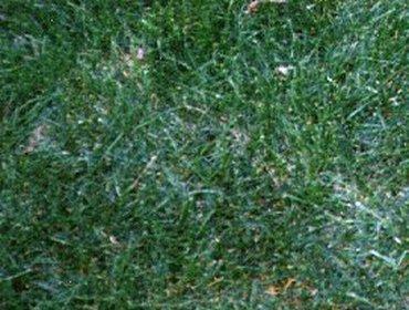 Erba prato grass lawn 269