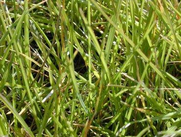 Erba prato grass lawn 277