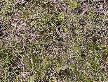 Erba prato grass lawn 95
