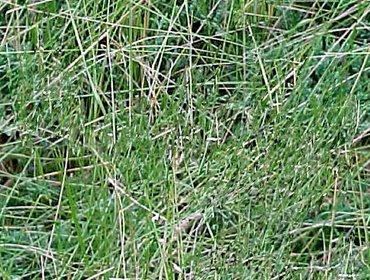 Erba prato grass lawn 96